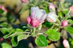 Τα νέα λουλούδια Apple-δέντρων καλλιεργούν την άνοιξη Στοκ φωτογραφίες με δικαίωμα ελεύθερης χρήσης