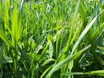 Τα νέα πράσινα καλλιεργούν την άνοιξη στοκ φωτογραφία με δικαίωμα ελεύθερης χρήσης