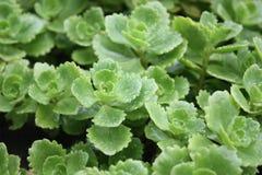 Τα νέα πράσινα καλλιεργούν την άνοιξη στοκ φωτογραφίες