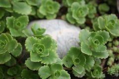 Τα νέα πράσινα καλλιεργούν την άνοιξη στοκ εικόνες με δικαίωμα ελεύθερης χρήσης