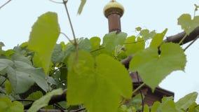 Τα νέα πράσινα φύλλα αμπέλων σταφυλιών στον αέρα μια βροχερές ημέρα και μια εκκλησία καλύπτουν δια θόλου σε ένα υπόβαθρο απόθεμα βίντεο