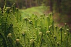 Τα νέα φύλλα της φτέρης, που ανθίζουν στο δάσος, έστριψαν τις σπείρες Στοκ Εικόνες