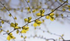 Τα νέα φύλλα στοκ φωτογραφία με δικαίωμα ελεύθερης χρήσης