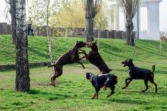Τα νέα dobermans παίζουν στο πάρκο στο χορτοτάπητα στοκ εικόνες με δικαίωμα ελεύθερης χρήσης