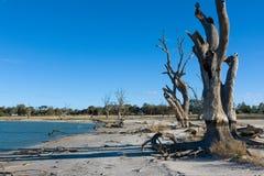 Τα νεκρά κόκκινα δέντρα γόμμας στην ξηρασία είχαν επιπτώσεις στο bonney λιμνών στο BA στοκ εικόνες