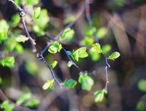 Τα νεφρά στους θάμνους άνθισαν Στοκ Φωτογραφία