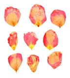 Τα ξηρά λεπτά πέταλα πιεσμένων κόκκινος και κίτρινος αυξήθηκαν Στοκ φωτογραφίες με δικαίωμα ελεύθερης χρήσης