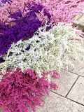 Τα ξηρά λουλούδια οδοντώνουν το λευκό Στοκ Εικόνες