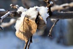 Τα ξηρά φύλλα των δέντρων της Apple καλύπτονται με το χιόνι και τη μακροεντολή παγετού Στοκ Φωτογραφία