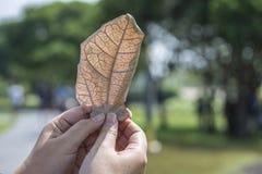 Τα ξηρά φύλλα κρατούν υπό εξέταση Στοκ Εικόνες