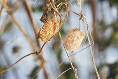 Τα ξηρά φύλλα στους κλάδους Μαρασμός της φύσης Στοκ Φωτογραφίες