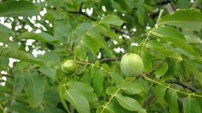 Τα ξύλα καρυδιάς στο δέντρο διακλαδίζονται πριν από τα άψητα τα πράσινα καρύδια και φύλλα συγκομιδών στον κλάδο που επιπλέει στον απόθεμα βίντεο