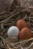 Τα οικολογικά φυσικά φρέσκα αυγά στο πουλί τοποθετούνται γεννημένο Στοκ Φωτογραφία