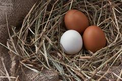 Τα οικολογικά φυσικά φρέσκα αυγά στο πουλί τοποθετούνται γεννημένο Στοκ Εικόνες