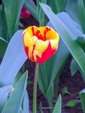 Τα ολλανδικά φλέγονταν το κόκκινο και κίτρινο λουλούδι τουλιπών στοκ εικόνα