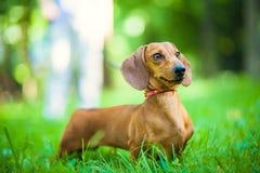 Τα ομαλός-μαλλιαρά dachshund πρότυπα, χρωματίζουν το κόκκινο, θηλυκό Στοκ Φωτογραφίες