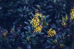 τα ονειροπόλα μαγικά κίτρινα λουλούδια νεράιδων με τη σκούρο πράσινο μπλε πορφύρα αφήνουν το υπόβαθρο τονισμένο με τα φίλτρα inst Στοκ Εικόνες