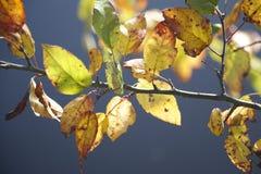Τα δονούμενα κίτρινα και πράσινα φύλλα πτώσης πιάνουν τον ήλιο πριν από ένα σαφές μπλε γκρίζο υπόβαθρο Στοκ φωτογραφίες με δικαίωμα ελεύθερης χρήσης
