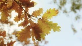 Τα δονούμενα φύλλα δέντρων φθινοπώρου κλείνουν επάνω Στοκ Φωτογραφίες