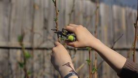 Τα οπωρωφόρα δέντρα περικοπής με secateurs κήπων καλλιεργούν την άνοιξη απόθεμα βίντεο