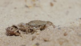 Τα οστρακόδερμα εξερευνούν τα περίχωρά του σε μια αμμώδη παραλία μπροστά από το καβούρι απόθεμα βίντεο