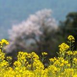 Τα λουλούδια λάχανων Στοκ φωτογραφίες με δικαίωμα ελεύθερης χρήσης