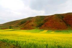 Τα λουλούδια λάχανων Qinghai Menyuan βουκολικά Στοκ φωτογραφία με δικαίωμα ελεύθερης χρήσης
