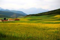 Τα λουλούδια λάχανων Qinghai Menyuan βουκολικά Στοκ εικόνα με δικαίωμα ελεύθερης χρήσης