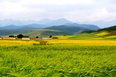 Τα λουλούδια λάχανων Qinghai Menyuan βουκολικά Στοκ εικόνες με δικαίωμα ελεύθερης χρήσης