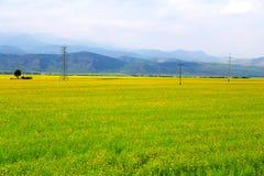 Τα λουλούδια λάχανων Qinghai Menyuan βουκολικά Στοκ Εικόνες