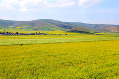 Τα λουλούδια λάχανων Qinghai Menyuan βουκολικά Στοκ Φωτογραφίες