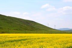 Τα λουλούδια λάχανων Qinghai Menyuan βουκολικά Στοκ Εικόνα