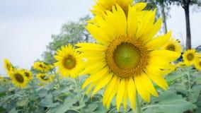 Τα λουλούδια ήλιων Στοκ Φωτογραφία