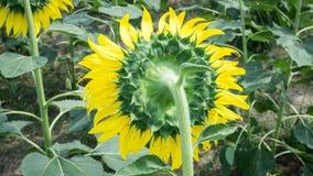Τα λουλούδια ήλιων Στοκ φωτογραφίες με δικαίωμα ελεύθερης χρήσης