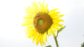 Τα λουλούδια ήλιων Στοκ Εικόνες