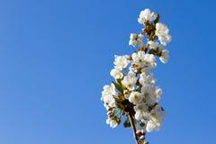 Τα λουλούδια ανθών κερασιών είναι στην άνθιση Στοκ φωτογραφίες με δικαίωμα ελεύθερης χρήσης