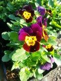 Τα λουλούδια γατών Στοκ Φωτογραφίες