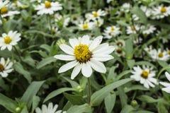 Τα λουλούδια είναι άσπρα με τα κίτρινα stamens στους τομείς λουλουδιών Στοκ Φωτογραφία