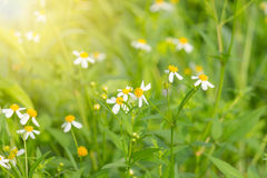 Τα λουλούδια είναι άσπρα με τα κίτρινα stamens στο φυσικό υπόβαθρο Στοκ εικόνα με δικαίωμα ελεύθερης χρήσης