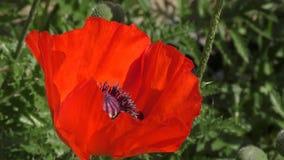 Τα λουλούδια είναι κόκκινες παπαρούνες απόθεμα βίντεο