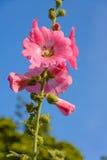 Τα λουλούδια είναι ρόδινα Στοκ Φωτογραφία