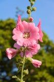 Τα λουλούδια είναι ρόδινα Στοκ φωτογραφίες με δικαίωμα ελεύθερης χρήσης