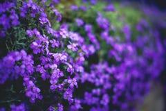 τα λουλούδια εμβλημάτων ανασκόπησης διαμορφώνουν λίγη ρόδινη σπείρα στενό λευκό τουλιπών κόκκινων ανοίξεων κήπων λουλουδιών κερασ Στοκ Εικόνες