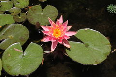 τα λουλούδια εμβλημάτων ανασκόπησης διαμορφώνουν λίγη ρόδινη σπείρα στοκ φωτογραφία