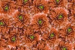 τα λουλούδια εμβλημάτων ανασκόπησης διαμορφώνουν λίγη ρόδινη σπείρα λουλούδια χρυσάνθεμων που απομονώνονται πέρα από το κόκκινο λ Στοκ εικόνα με δικαίωμα ελεύθερης χρήσης