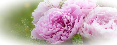 τα λουλούδια εμβλημάτων ανασκόπησης διαμορφώνουν λίγη ρόδινη σπείρα όμορφο ροζ peonies Στοκ φωτογραφία με δικαίωμα ελεύθερης χρήσης