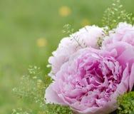 τα λουλούδια εμβλημάτων ανασκόπησης διαμορφώνουν λίγη ρόδινη σπείρα όμορφο ροζ peonies Στοκ Εικόνες