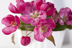 Τα λουλούδια ενός Apple-δέντρου του niedzwetzkyana Dieck Nedzvetsky Malus στην ΚΑΠ Στοκ φωτογραφίες με δικαίωμα ελεύθερης χρήσης
