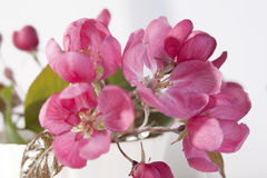 Τα λουλούδια ενός Apple-δέντρου του niedzwetzkyana Dieck Nedzvetsky Malus στην ΚΑΠ Στοκ εικόνες με δικαίωμα ελεύθερης χρήσης