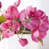 Τα λουλούδια ενός Apple-δέντρου του niedzwetzkyana Dieck Nedzvetsky Malus στην ΚΑΠ Στοκ Φωτογραφίες